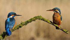 Female kingfishers sat on a perch around four feet above the water and would only dive thr...