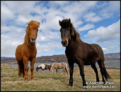 Do People Live in Iceland | ... that in iceland there s a horse for every four people yes that s the