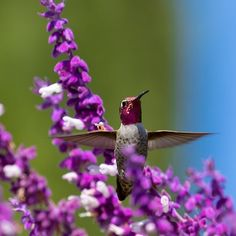 Ruby Throated Hummingbird Defends Its Flowers