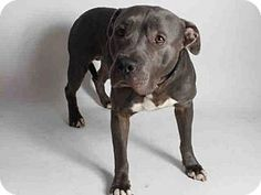 San Pedro, CA - Pit Bull Terrier. Meet MANNY, a dog for adoption. http://www.adoptapet.com/pet/13409005-san-pedro-california-pit-bull-terrier