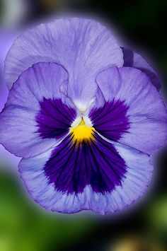 Purple Pansy   by Bonnie T.  Barry
