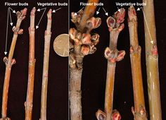 winter twigs, buds (Acer saccharinum)