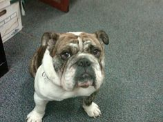 Rocks my oldest bulldog, passed away on July 7. I lost a son that day.  A piece of my heart went with him.