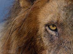 WILDLIFE   HGrieselphotography #lions #kruger #krugernationalpark
