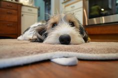 Zoe (aka Zoest aka Zoester aka Toaster) the PBGV relaxing after her walk. by mchnclblldzr, via Flickr