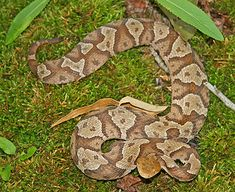 Venomous Snakes of Tennessee