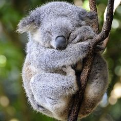 Sleepy Koala | Photo via @outofwild
