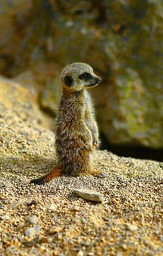 They are weaned from their moms around 49-63 days old, then they join the other meerkats on the never-ending search for food. Photo by LHG Creative Photography