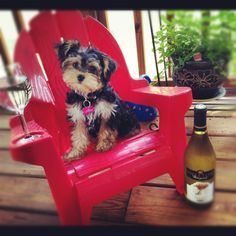 73 Best Morkie Or Yorkie Poo My Next Bff Images On Pinterest