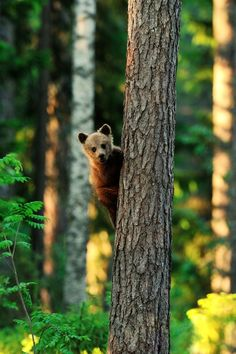 Little brown bear cub | Erik Mandre