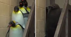 Penguin Stormtroopers March Down Stairs Clearing the Way for Penguin Darth Vader's Grand Entrance