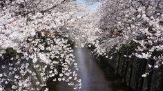 Japanese Cherry Blossom. Taken at Meguro river flowing, Meguro-ku, Tokyo.