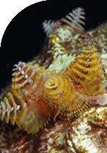 Close up view of Christmas tree worms protruding from a coral head