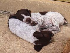 GSP Puppies - Sleepy Harper - 4 Week old German Shorthaired Pointers