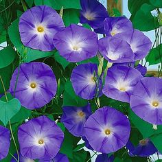 Morning Glory Seeds 'Purple' ......... from American Meadows