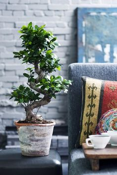 Have you heard of the Ficus Ginseng plant? Yesterday while getting distracted from work, I read that this native Asian bonsai . Ficus Microcarpa Ginseng, Ficus Ginseng Bonsai, Ginseng Plant, Bonsai Plants, Potted Plants, Big Indoor Plants, Indoor Trees, Outdoor Plants, Indoor Garden