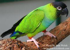 Nanday Conure, Bird Store, Parakeet, Love Birds, South America, Parrots, School, Image, Birds