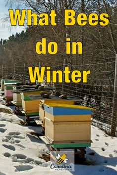 What Do Bees Do in Winter? What do bees do in Winter? A look inside the Winter beehive and how bees Beauty And The Bees, Honey Bee Hives, Honey Bees, Bee Facts, Types Of Bees, Bee Hive Plans, Bee Swarm, Buzz Bee, Raising Bees