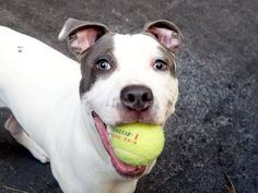 TO BE DESTROYED - 07/13/14 Manhattan Center -P  My name is BUTTERS. My Animal ID # is A1005346. I am a male white and blue am pit bull ter. The shelter thinks I am about 7 MONTHS old.  I came in the shelter as a OWNER SUR on 07/02/2014 from NY 10040, owner surrender reason stated was NO TIME.  https://www.facebook.com/photo.php?fbid=833855686627312&set=a.611290788883804.1073741851.152876678058553&type=3&theater