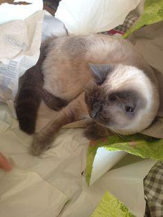 Oster-Katze, Britisch Kurzhaar, BKH