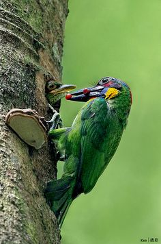 The red-crowned barbet (Megalaima rafflesii). It is found in Brunei, Indonesia, Malaysia, Myanmar, Singapore, and Thailand.
