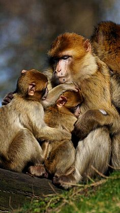 Life is beautiful. Primates, Monkey Pictures, All Gods Creatures, Mothers Love, Life Is Beautiful, Monkeys, Beauty, Animals, Pictures