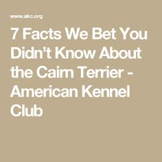 7 Facts We Bet You Didn't Know About the Cairn Terrier - American Kennel Club