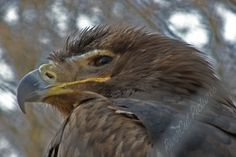Eagle Bald Eagle, Bird, Animals, Animales, Animaux, Birds, Animal, Animais