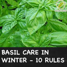 Basic Care for Basil in Winter