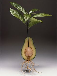 Avocado Plant ~ Take the avocado pit and push the flat end into a six-inch pot of moist, multi-purpose soil. Leave the pointy end exposed.    Keep the plant at about 65° F until the first leaf shoots appear. Aftet that, it likes normal room temperatures.    To encourage upward growth, pinch off new buds when they appear below the top leaves on the plant stalk. With proper care, in three years your Avocado will grow to an elegant, large-leaved houseplant about 3 feet tall.