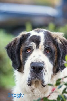 Kiki is a full St. Bernard that is from Oklahoma.  She is an owner surrender and is looking for a wonderful home to be loved and cared for.  KiKi does better with other large dogs.  We will not adopt her to any family with small dogs or cats.  KiKi...