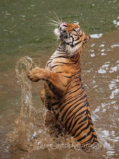 Tiger Jumping in The Water