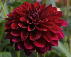 Name: Karma Naomi (#1868) Classification: Dekorative Dahlien Color: dunkelrot Height: circa 120 cm Blossom size: 10 cm - 15 cm Grower, Year Verwer, Gebr. (Netherlands), 1996 Can be obtained from: Versand, Dahlienpark Theo Gauweiler (Händler, Germany)