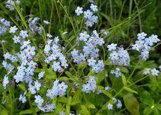 Fjellminneblom (Myosotis decumbens) Plants, Water Colors, Plant, Planets