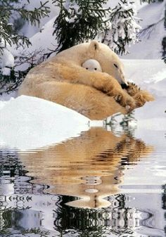 Polar bear napping and her cub