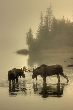 Foggy morning face-off. Two young bull #moose testing each other in Tobin Harbor in Isle Royale National Park. They locked horns and did a little pushing and shoving, but no real damage was done to either. Photo: Carl TerHaar