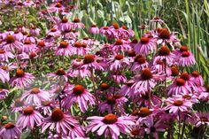 coneflower Echinacea purpurea 'Magnus': full sun - 1m - july to sept - hardy - £5 offer