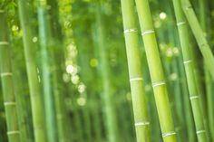 Wusstet ihr, dass Bambus bis zu einem Meter pro Tag wachsen kann? #Bambus #Fakten