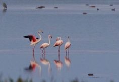 Eveniment rar și frumos în România: 4 păsări flamingo au fost observate în Tulcea. Vezi aici foto: National Geographic, Habitats, Flamingo, Birds, Nature, Animals, Image, Ideas, Flamingo Bird