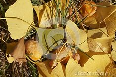 Leaves And Fruits Of Ginkgo Biloba, Ginkgo, Maidenhair Tree Stock Photo - Image of remedy, cures: 130117748