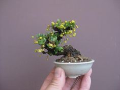 The upright styles in bonsai are one of the most popular and easy styles for beginners. Learn all about the two main upright styles in bonsai growing. Mame Bonsai, Plantas Bonsai, Bonsai Plants, Bonsai Garden, Bonsai Trees, Air Plants, Cactus Plants, Ikebana, Mini Plantas
