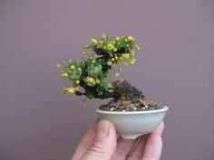 Aqui uma série de Mames de vários artistas da Nihon Bonsai Mame. Ao contrário do que muitos iniciantes na arte do bonsai acham, é uma das proporções e tamanhos mais difíceis de serem trabalhados. …