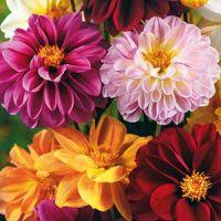 Dahlia, Sommar- 'Redskin'- Dahlia × pinnata