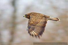 Winter Birds in the Danube Delta. Common Buzzard