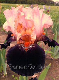 Tall Bearded Iris 'Lullaby Of Broadway'. Delicate pink next to near black.