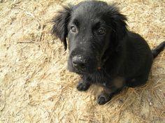 i love flatcoated retrievers   Flat-Coated Retriever   Dog Breeds at myPetSmart.com