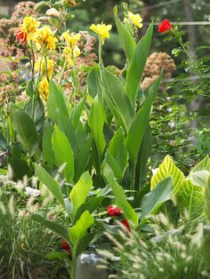 Canna-  Add garden drama with cannas. Their big leaves and brilliantly colored blooms in shades of yellow, orange, red, and pink will instantly lend your garden a tropical feel. Dwarf cannas may only grow 3 feet tall; others soar to 8 feet or more.