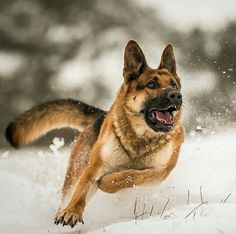 GSD ~ on the run. Such an amazing picture!!