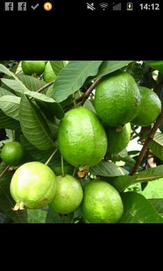 Guava from Nayarit..
