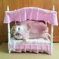 Peek this hedgie chillin on a bed. I so want one. #headgehog #pets